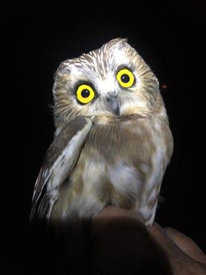Saw-whet owl banded at Woodland-Dunes.