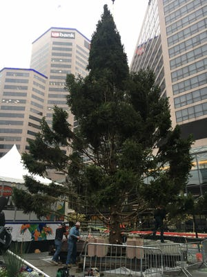 Cincinnati's annual holiday tree arrived on Saturday. The tree is 58 feet tall.