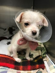 Meet Tinker, a 12-week-old puppy that was attacked
