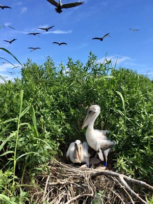 Two banded Brown pelican chicks in a nest with bands before they learn to fly. A group of Clemson University scientists put bands on 850 birds dating to 2014 to learn about the pelicans' movements once they learn to fly.