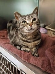 Maxi is a 3-year-old brown tabby girl who came into