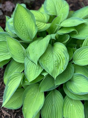 Many varieties of hosta are located throughout Jennifer Smith's gardens.