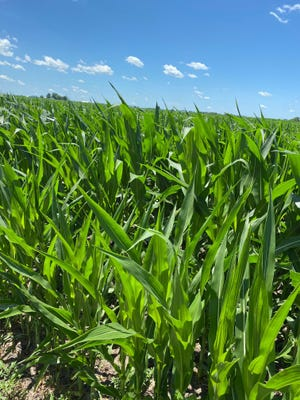 Corn producers had planted 93 % of their crop by the end of May which was 29 % ahead of last year and 4% ahead of the five year average. The report showed that 78% of the corn planted had emerged by May 31 and 4% of the crop had reached the silking stage by June 28.