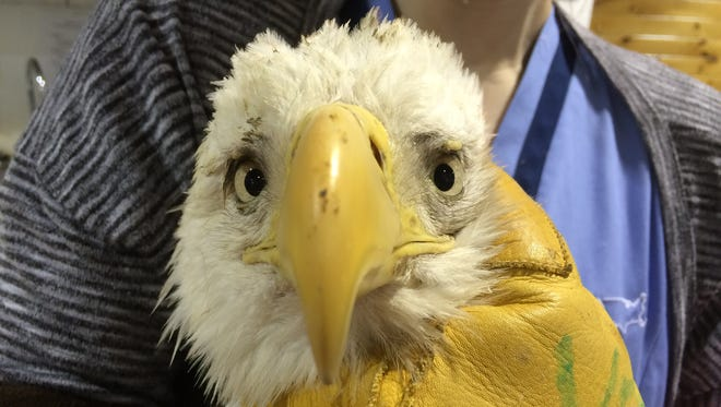 A lead-positive bald eagle is cared for at the Wildlife Center of Virginia. Lead poisoning is one of the leading causes of bald eagle deaths, according to wildlife experts.