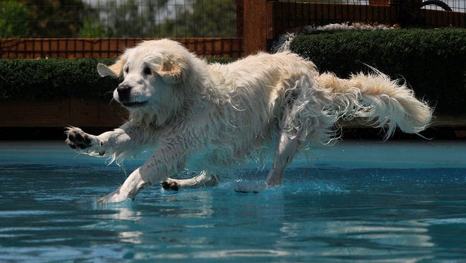 Fyndlie, a 3- year-old golden retriever owned by Becky White, appears to be walking on water as her paws just break the surface after her leap into a pool at Suite Life Pet Resort and Spa. The spa held a dock-diving contest Saturday to benefit Rescue the Animals, SPCA.