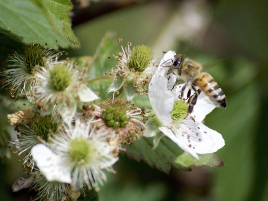 Closeup of honeybee foraging on cluster of blackberry blossom