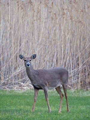 A state appellate judge ruled that baiting deer in areas with chronic wasting disease is legal so long as people aren't hunting over it.