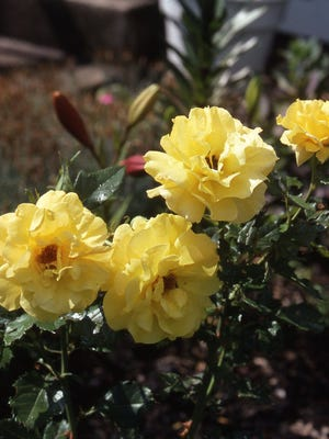 The rose is often a favorite flower to grow by a specialty gardener. It has an extra long bloom period. Richard Poffenbaugh Photo.