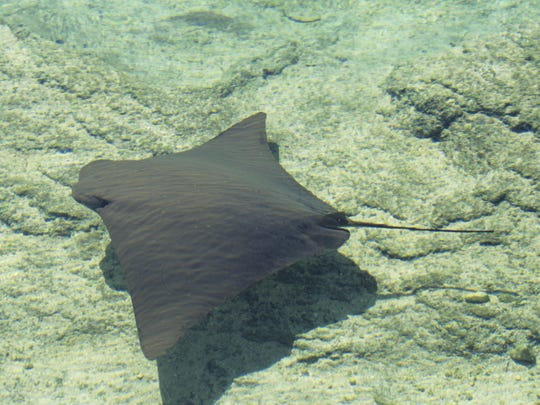 Getty Images Cownose rays scurry along ocean and estuary floors to look for food such as clams, large snails, lobsters, oysters, and crabs. Cow-nosed ray (Rhinoptera bonasus) underwater, Bahamas, WI