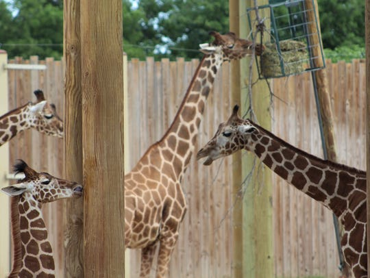 The Abilene Zoo has plenty of giraffes, and all proceeds from the feeding deck go to the Giraffe Conservation Foundation.