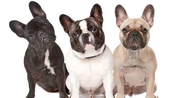 French bulldogs.
