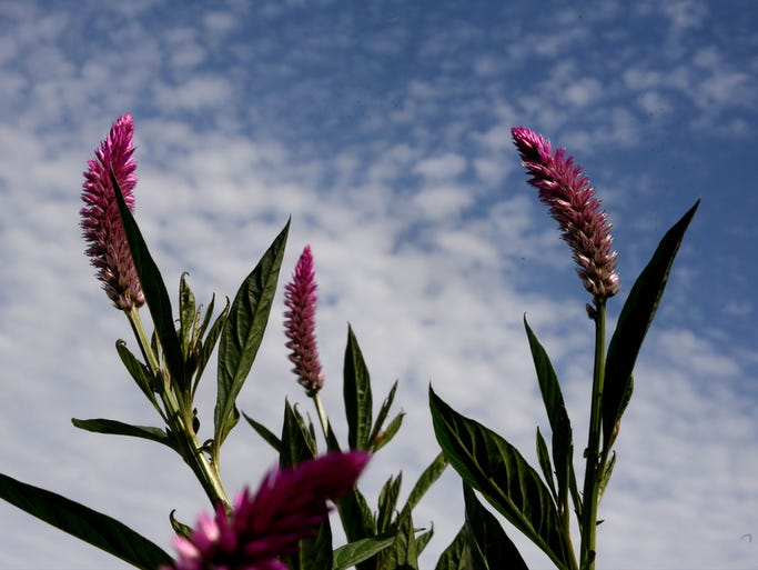 Celosia growing at Plum Nelly flower farm that specializes in field grown cut flowers on the farm in Coushatta, Louisiana.
