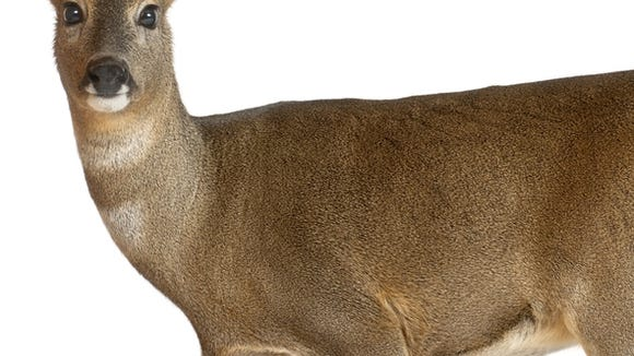 A white-tailed doe.