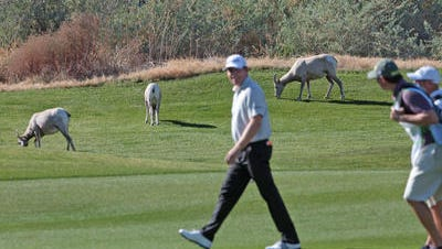 State and federal agencies are requiring that a barrier be put up to keep Peninsular bighorn sheep from grazing on PGA West and other golf courses in La Quinta.
