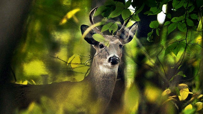 An antlered deer peers from the woods at Eagle Creek Park, Indianapolis, on Oct. 23, 2013.
