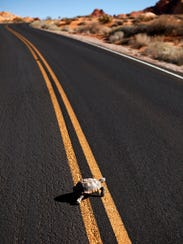 In this Oct. 11, 2013, file photo, a desert tortoise