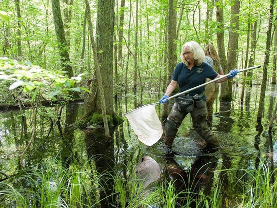 Holly Niederriter, a biologist with the Delaware Department of Natural Resources and Environmental Control's Division of Fish & Wildlife, looks for tadpoles in a seasonally wet, wooded wetland at Blackbird State Forest. President Donald Trump signed an order Tuesday mandating a review of the rule aimed at protecting small streams and wetlands, such as this one, from pollution.