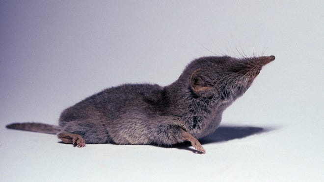 The desert shrew is revered by desert biologists for a plethora of reasons. Most notable is its small size.