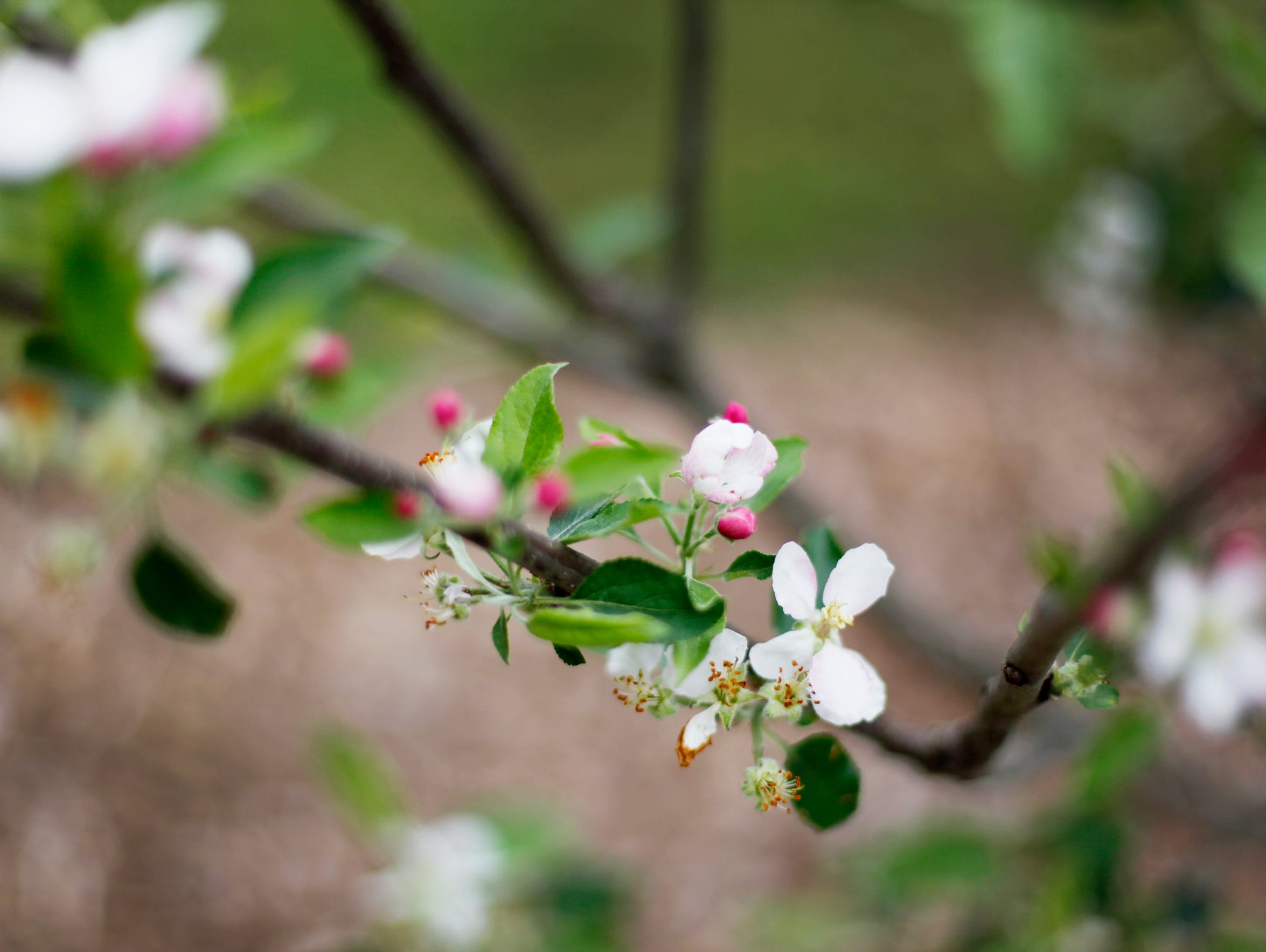 Pink blossoms on a young apple tree at Congregation