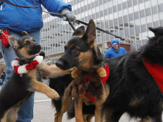 A German Shepherd puppy wants to play along the parade