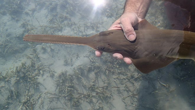 A newborn sawfish is released by a researcher from Florida State University near Andros n the Bahamas in Dec. 2016.