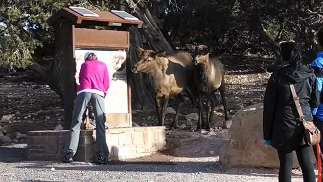 Two elk interact with visitors at the south kaibab water station at Grand Canyon National Park in Arizona.