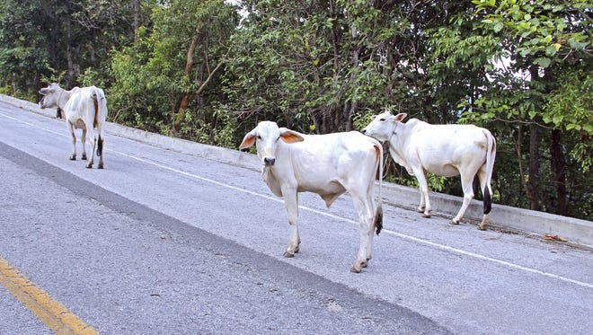 Cow on the road.