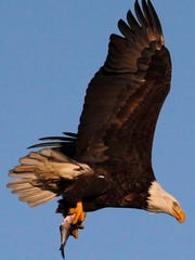 A mature bald eagle carries a fish for its next meal Dec. 26, 2011, on Lake Winnebago near Fond du Lac.