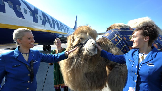 "Flight attendants pet camel ""Ernie"" in front of a Ryanair plane on March 29, 2011, to mark Ryanair's new service from Bremen, Germany, to Marrakech, Morocco."