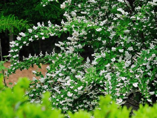 The fuzzy deutzia is an heirloom shrub in the hydrangea family.