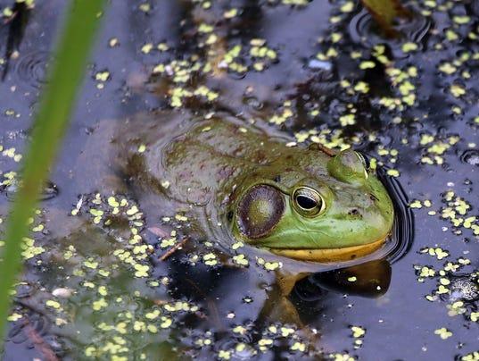 636325181708587491-frog.JPG