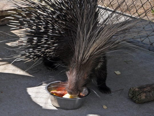 African porcupines are active during the day