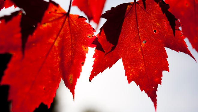 Red leaves hang from a branch as fall colors begin to show at the Pine River Nature Center in Goodells.