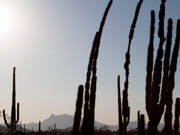 An organ pipe cactus in June at Organ Pipe Cactus National