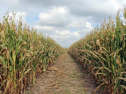 635790445843284678-cornfield