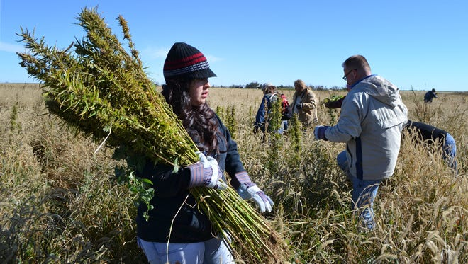 Volunteers in Springfield, Colo., harvest hemp Oct. 5, 2013, during the first known harvest of the plant in more than 60 years. The federal farm bill agreement reached Jan. 27, 2014, reverses decades of prohibition for hemp cultivation. Instead of requiring approval from federal drug authorities to cultivate the plant, the 10 states that have authorized hemp would be allowed to grow it in pilot projects or at colleges and universities for research.