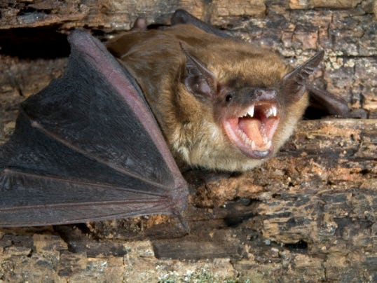 635900348423766867-big-brown-bat-2.jpg