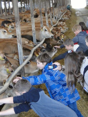 Students eagerly reached out to greet the Jerseys on the Kutz Dairy farm at Jefferson on May 3 when they took part in the 24th annual Farm City Day event.