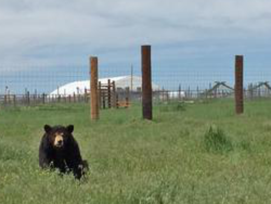 Ricki the black bear, former attraction at Jim Mack's