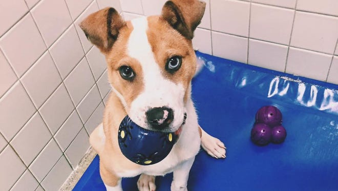 Jack is a 3½-month-old Siberian Husky mix looking for his forever home.