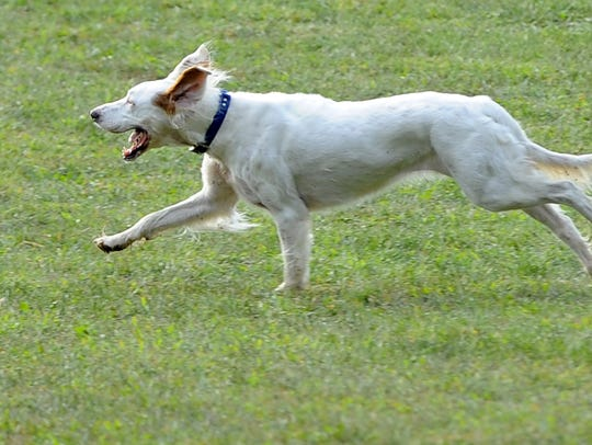 A 5-year-old English setter, Emma runs back towards