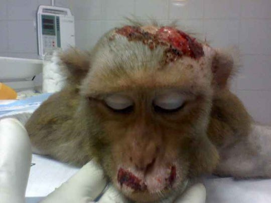 Activists used these leaked photos from Primate Products to accuse the company of cruelty, but what it showed were healing fight wounds, said company President Jeff Rowell.