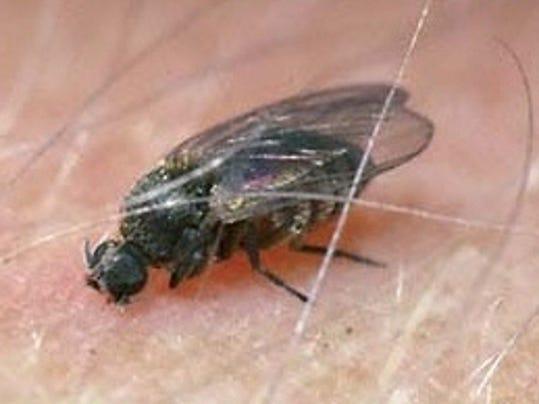blackfly1.jpg