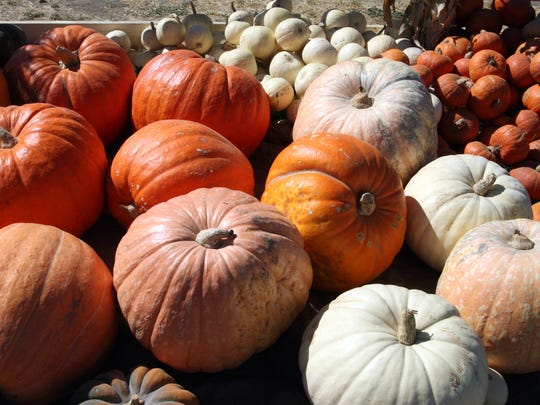 Giant pumpkins on display at The Farm, Salinas