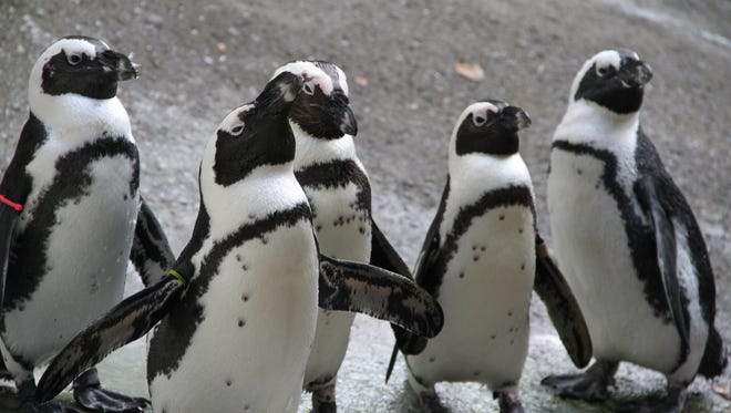 You can see Howard (at front) and his African penguin pals at the Binghamton Zoo when it opens for the season later this month.