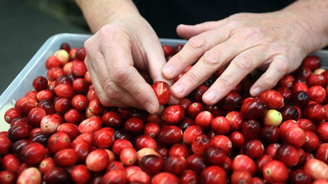 Cranberries used for research are shown at the University of Massachusetts Cranberry Station in Wareham.