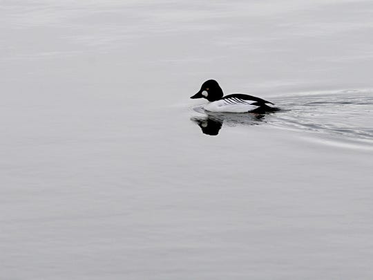Common goldeneye duck
