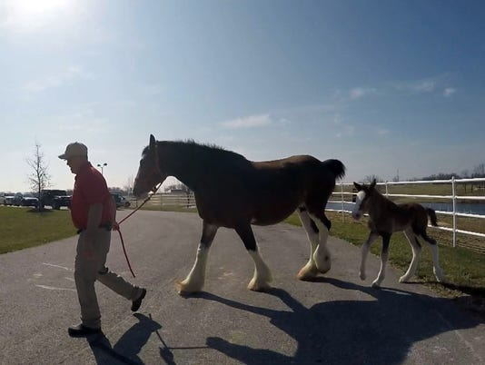 how to break a clydesdale