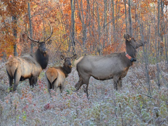 An elk herd near Clam Lake, Wisconsin. The Wisconsin