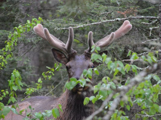 A bull elk is photographed near Clam Lake, Wis.